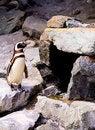 Free Penguin Stock Image - 6037211