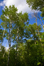 Free Green Trees Rise Into Cloudy Sky Royalty Free Stock Photos - 6038318