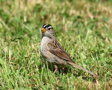 Free White-crowned Sparrow Stock Photos - 6030543