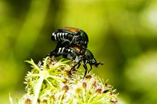 Free Cockchafer Mating Stock Image - 6031011