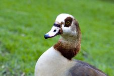 Free A Goose Royalty Free Stock Photo - 6031075