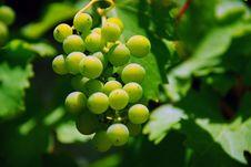 Free Grapes 4 Stock Photo - 6031790