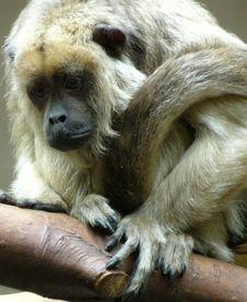 Free Monkey Stock Image - 6031881