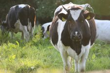 Free Irish Cows Royalty Free Stock Photography - 6032167