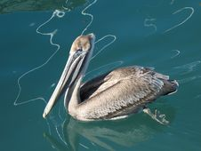 Free Florida Brown Pelican Royalty Free Stock Image - 6032246