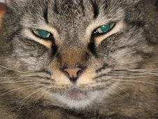 Free Closeup Of Male Cat Royalty Free Stock Photos - 6032278