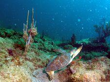 Free Sea Turtle Royalty Free Stock Photo - 6032335
