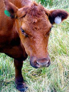 Free Cow Stock Image - 6032521