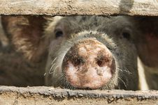Free Pig Nose! Royalty Free Stock Photos - 6032588