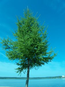 Free Larch Stock Photos - 6033043
