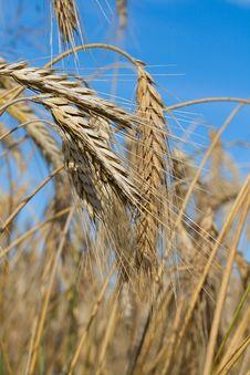 Free Close-up Wheat Stock Image - 6033331
