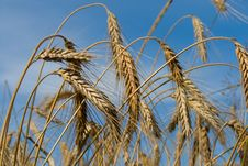 Free Wheat Royalty Free Stock Photography - 6033347