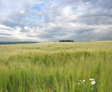 Field In The Summer Royalty Free Stock Photo