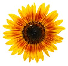 Free Beautiful Yellow Sunflower Royalty Free Stock Photos - 6033888