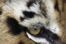 Eye Of The Tiger Royalty Free Stock Photo