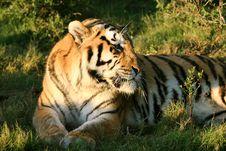 Free Tiger Stock Photos - 6034263