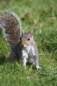 Squirrel In Grass Stock Images