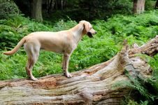 Free Labrador In The Forest Royalty Free Stock Images - 6034749