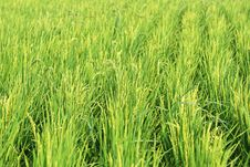 Free Rice Plant Royalty Free Stock Images - 6034949