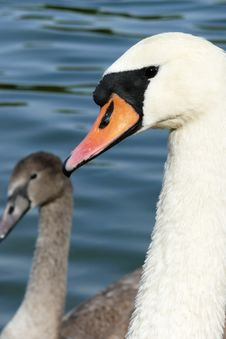 Free Couple Of Swans Royalty Free Stock Photo - 6035035
