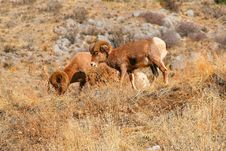 Free Big Horn Sheep Royalty Free Stock Images - 6035159