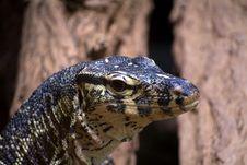 Free Varanus Niloticus Royalty Free Stock Image - 6035686