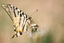 Free Butterfly And Dandelion Royalty Free Stock Photo - 6035975