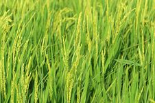 Free Rice Plant Royalty Free Stock Photos - 6036208