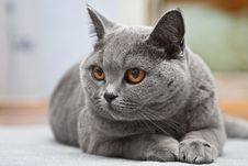 Free Cat Of The British Breed Stock Photography - 6036282