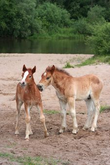 Two Young Foals Stock Photos