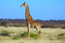 Free Giraffe (Giraffa Camelopardalis) Stock Photo - 6036920