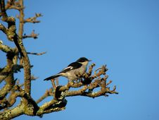Common Fiscal Shrike On Branch Stock Photography