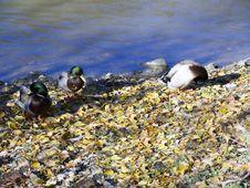 Ducks Along A River Bank Stock Photo