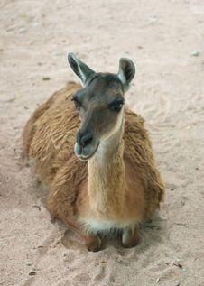 Free Lama Stock Photos - 6037483