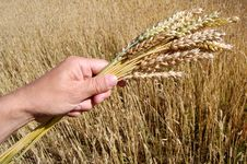 Free Golden Wheat Field Stock Images - 6037684