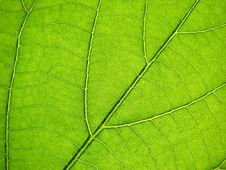 Free Green Leaf Royalty Free Stock Photos - 6038268