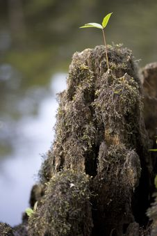 Free Cypress Stump Royalty Free Stock Photography - 6038757