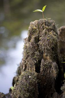 Free Cypress Stump Royalty Free Stock Photography - 6038757