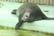 Free Seal Royalty Free Stock Photo - 6039085