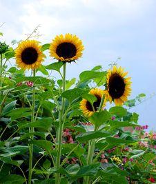 Free Sunflower Garden Royalty Free Stock Photos - 6039188