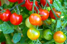 Free Red And Green Tomatoes Royalty Free Stock Photo - 6039635