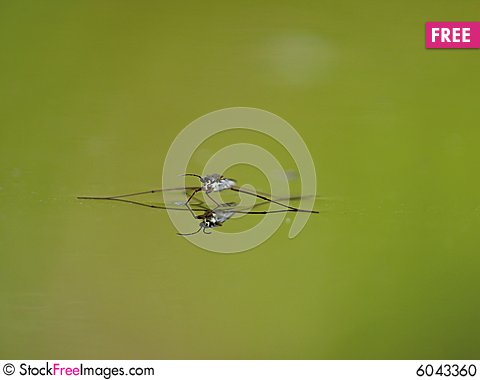 Free Water Striders On Water. Reflections In A Pond. Stock Photo - 6043360