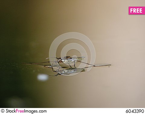 Free Water Striders On Water. Reflections In A Pond. Stock Photo - 6043390