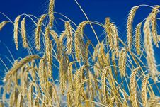 Free Wheat And Sky Stock Photo - 6040100