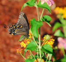 Free Black Swallow Tail Butterfly Royalty Free Stock Photography - 6040467