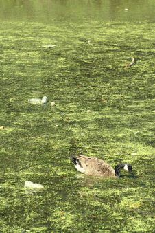 Free Duck In Pollution Royalty Free Stock Photo - 6040555