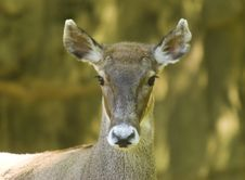 White-lipped Deer Stock Photo