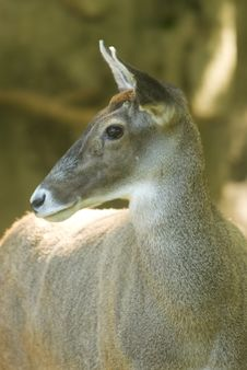 White-lipped Deer Profile Stock Photos