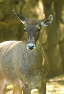 Free Female White-lipped Deer Stock Photos - 6041103