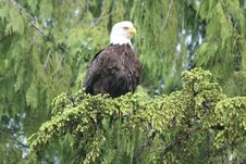 Free Bald Eagle Royalty Free Stock Image - 6041226